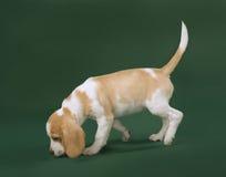 Het puppy van de brak Royalty-vrije Stock Afbeelding