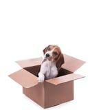 Het puppy van de brak in doos stock fotografie