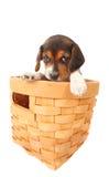 Het puppy van de brak in een mand Stock Foto's