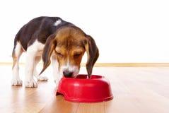 Het puppy van de brak het eten royalty-vrije stock afbeelding