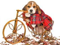 Het puppy van de brak met geruite Schotse wollen stoflaag Stock Afbeelding