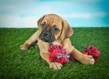 Het Puppy van de brakstier royalty-vrije stock afbeelding