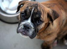 Het puppy van de buldog Royalty-vrije Stock Afbeelding
