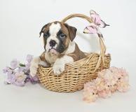Het Puppy van de buldog stock afbeelding