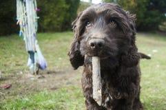 Het puppy van de chocoladecocker-spaniël stock afbeeldingen