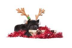 Het puppy van de chow-chow Stock Afbeelding
