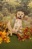 Het puppy van de cocker-spaniël Royalty-vrije Stock Fotografie