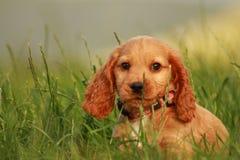 Het puppy van de cocker-spaniël Stock Foto's