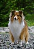 Het puppy van de collie stock fotografie