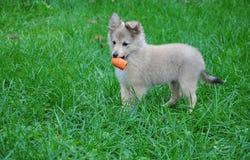 Het puppy van de collie het spelen Royalty-vrije Stock Afbeeldingen