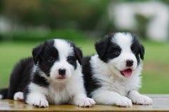 Het puppy van de Collie van de grens royalty-vrije stock foto's