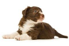Het Puppy van de Collie van de grens Stock Afbeelding