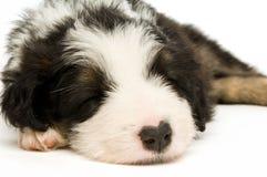 Het Puppy van de Collie van de grens Stock Foto's