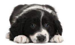 Het puppy van de Collie van de grens, 6 weken oud, het liggen Stock Afbeeldingen
