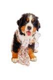 Het puppy van de de berghond van Bernese Royalty-vrije Stock Foto