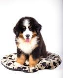 Het puppy van de de berghond van Bernese royalty-vrije stock foto's