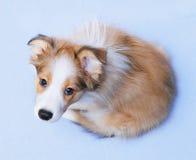 Het puppy van de de grenscollie van de sabelmarter Stock Afbeeldingen