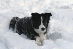 Het puppy van de de grenscollie van de sneeuw Stock Fotografie