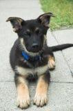 Het puppy van de Duitse herder stock foto
