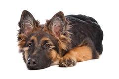 Het puppy van de Duitse herder Stock Afbeeldingen
