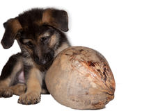 Het puppy van de Duitse herder het spelen met kokosnoot Stock Fotografie