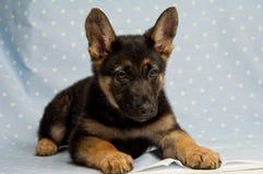 Het puppy van de Duitse herder op een blauwe spotty achtergrond Royalty-vrije Stock Afbeeldingen