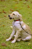 Het puppy van de gouden Retriever Stock Afbeelding
