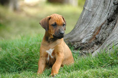 Het puppy van de hond Stock Foto
