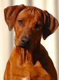 Het puppy van de hond Royalty-vrije Stock Afbeeldingen