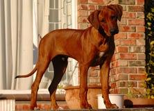 Het puppy van de hond Royalty-vrije Stock Fotografie