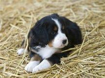 Het Puppy van de Hond van de Berg van Bernese Stock Afbeeldingen