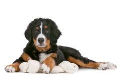 Het puppy van de Hond van de Berg van Bernese Royalty-vrije Stock Afbeelding
