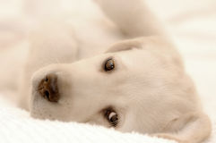 Het Puppy van de labrador Stock Fotografie