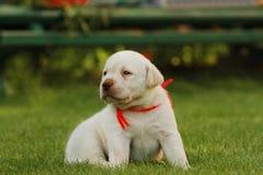 Het puppy van de labrador Stock Afbeeldingen