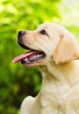 Het puppy van de labrador in de werf stock afbeelding