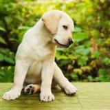 Het puppy van de labrador in de werf royalty-vrije stock fotografie