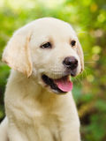 Het puppy van de labrador in de werf stock foto's