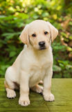 Het puppy van de labrador in de werf Stock Afbeeldingen