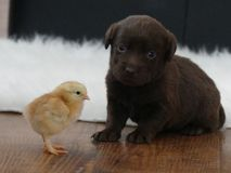 Het puppy van de labradorchocolade met een kuiken royalty-vrije stock foto's