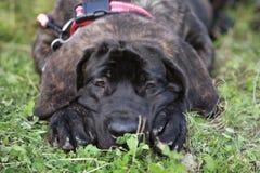 Het puppy van de mastiff het liggen Royalty-vrije Stock Afbeeldingen