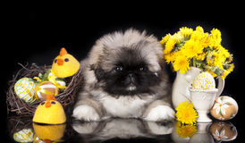 Het puppy van de pekinees Royalty-vrije Stock Fotografie