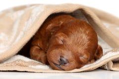 Het puppy van de poedel (één week) dat in deken wordt scheefgetrokken Stock Foto