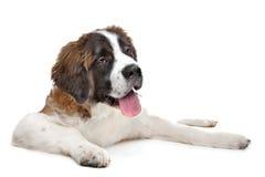 Het puppy van de sint-bernard stock afbeeldingen