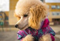 Het puppy van de snuitpoedel, perzikkleur Huisdier Stock Afbeelding