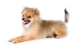 Het puppy van de spitz-hond royalty-vrije stock foto