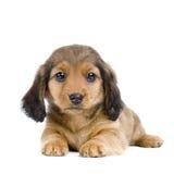 Het puppy van de tekkel Stock Foto's