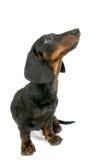 Het puppy van de tekkel Royalty-vrije Stock Foto
