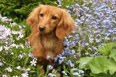 Het puppy van de tekkel Stock Afbeelding