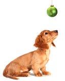 Het puppy van de tekkel Royalty-vrije Stock Fotografie