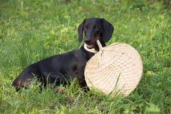 Het puppy van de tekkel, 7 maanden oud Royalty-vrije Stock Afbeelding